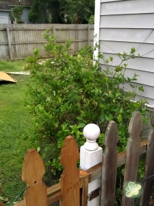 I also moved the gardenia bush in the rain (that was a pin those roots were HUGE!)