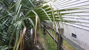 Neighbor's palm tree with ice